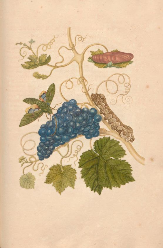 Merian - Grapes