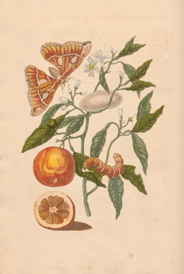 Merian - Oranges & Butterflies