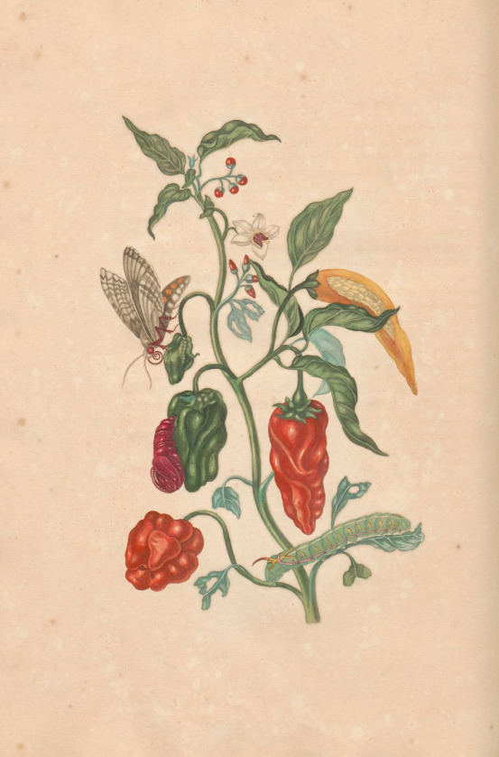 merian - bell peppers & peppers