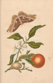 merian - orange and butterfly cocoon