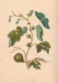 print fig tree merian